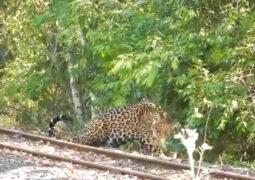 Video: un yaguareté de gran tamaño caminado en cercanías a la estación Cataratas