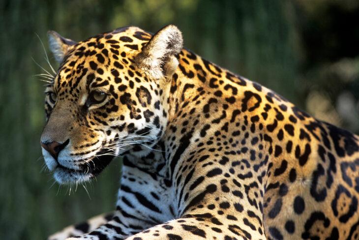 Unidos por el yaguareté: Argentina, Brasil y Paraguay juntos por la conservación de la especie en el Bosque Atlántico