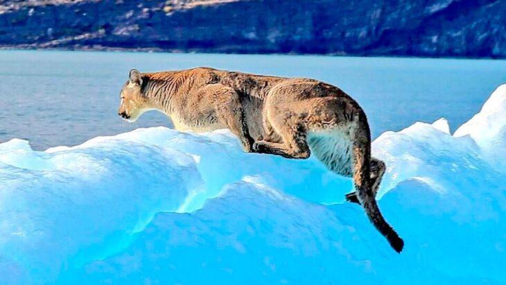La increíble foto de un puma encima de un iceberg: Turistas tomaron la imagen del animal en Santa Cruz